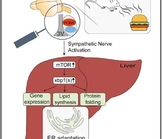 看到和闻到食物准备小鼠肝脏消化.jpg