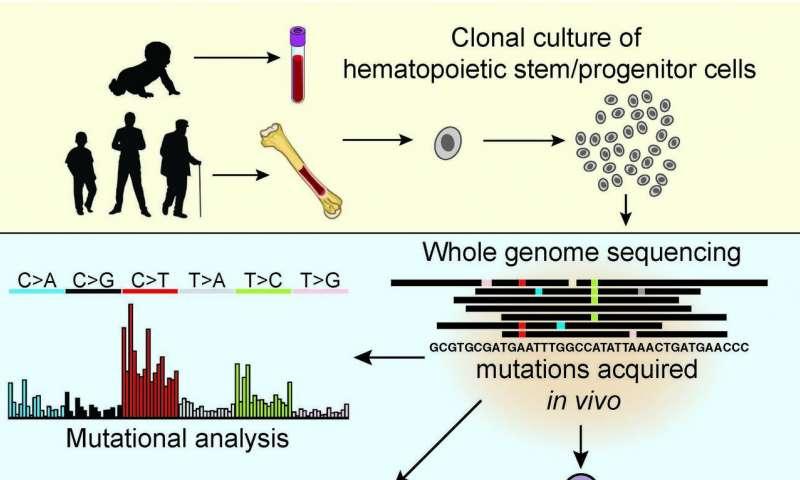 健康的血液干细胞具有与白血病细胞一样多的DNA突变.jpg