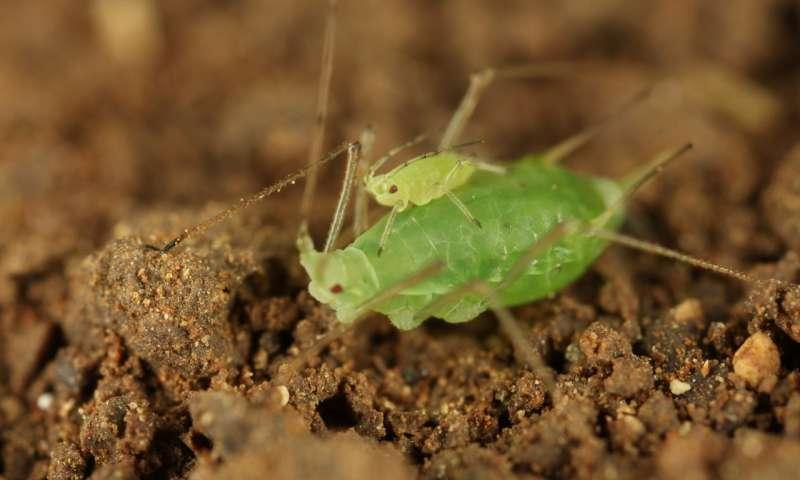 年轻的蚜虫背驮式成年蚜虫更快地获得安全.jpg