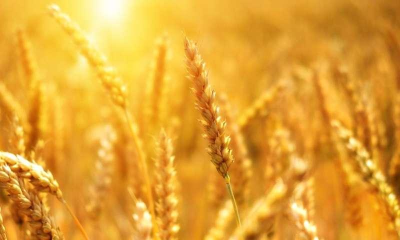 小麦抗锈性的新见解.jpg