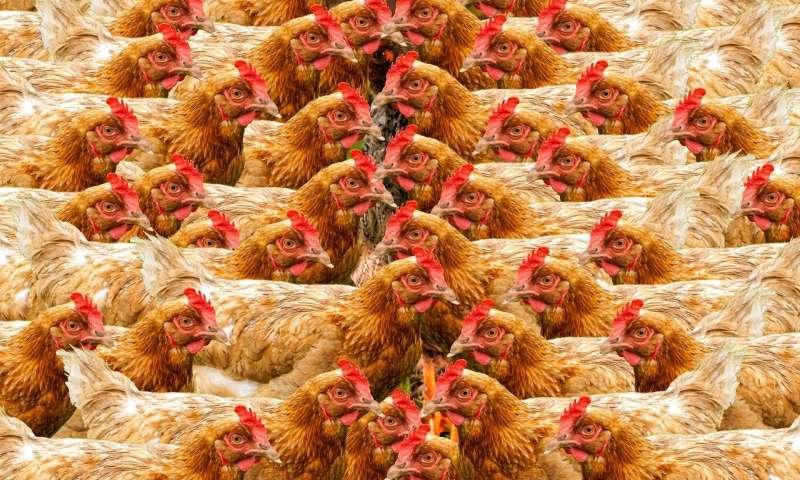 研究人员建议肉鸡是人类世界的标志.jpg