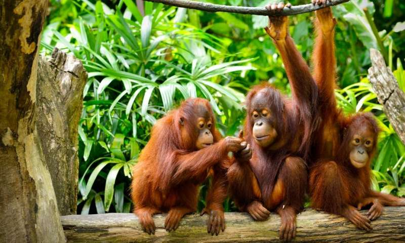 猩猩可以像人类一样就过去进行交流.jpg