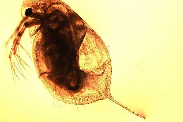 科学家揭示了水蚤在冰河时代如何定居.jpg