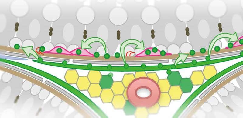 精子干细胞如何保持其数量.jpg