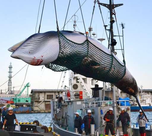 日本将恢复商业捕鲸 但海域不会在南极.jpg