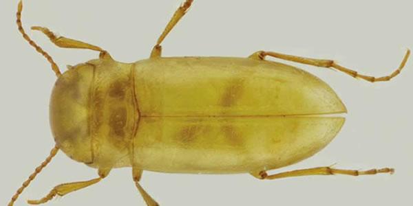 第一例葡萄牙甲虫完全生活在地下水中.jpg