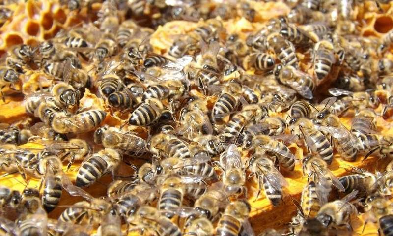 学生创造益生菌帮助蜜蜂对抗致命的真菌.jpg