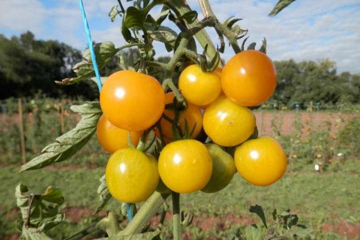Sunviva西红柿适合所有人并为人们创造利益.jpg