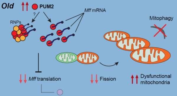 靶向RNA结合蛋白以对抗衰老.jpg